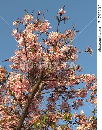 桃花樹 74792235