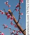 복숭아 나무 74792236