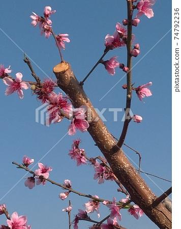 桃花樹 74792236