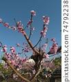 복숭아 나무 74792238