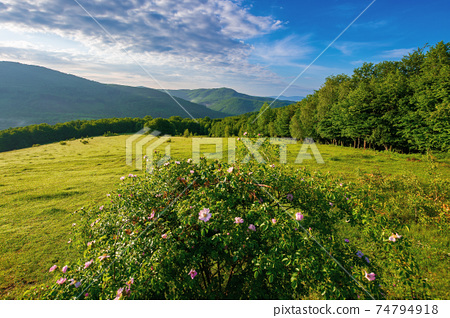 green grass on the meadow in mountains. sunny summer morning in carpathian countryside. rosebush on the hill. beech forest in the distance. clouds on the blue sky 74794918