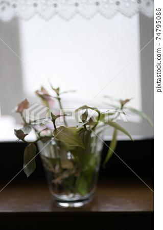 유리 컵에 들어간 창가에 관엽 식물의 꽃꽂이와 레이스 커튼 2 74795086