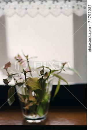 유리 컵에 들어간 창가에 관엽 식물의 꽃꽂이와 레이스 커튼 1 74795087