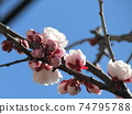 White plum blossoms in my home where big fruits grow 74795788