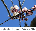 White plum blossoms in my home where big fruits grow 74795789