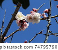 White plum blossoms in my home where big fruits grow 74795790
