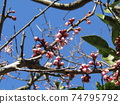 Plum buds of my home where big fruits grow 74795792