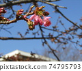Kawazu cherry blossom pink flowers in front of Inage Kaigan Station 74795793