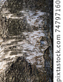 bark of birch in the cracks texture 74797160
