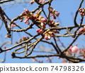 Bud of the Kawazu cherry tree in front of the Inage Coastal Station where it blooms immediately 74798326