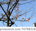 Kawazu cherry blossoms in front of Inage Coastal Station which began to bloom 74798328