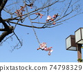 Kawazu cherry blossoms in front of Inage Coastal Station which began to bloom 74798329