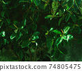 Trendy abstract botanical background with rubber tree 74805475