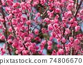 Plum blossom 74806670