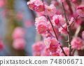 Plum blossom 74806671