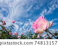 구름이 떠있는 푸른 하늘 아래 분홍색 장미 꽃 업 74813157