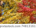 은행 나무의 단풍을 배경으로 단풍 나무의 단풍 74813161