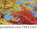 은행 나무의 단풍을 배경으로 단풍 나무의 단풍 74813162