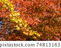 주황색 단풍 나무의 단풍을 배경으로 은행 나무의 단풍 74813163