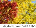 은행 나무의 단풍을 배경으로 단풍 나무의 단풍 74813165