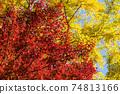 은행 나무의 단풍을 배경으로 단풍 나무의 단풍 74813166