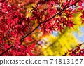 은행 나무의 단풍을 배경으로 단풍 나무의 단풍 업 74813167