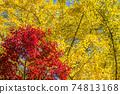 은행 나무의 단풍을 배경으로 단풍 나무의 단풍 74813168