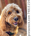 Cavapoo dog, mixed -breed of Cavalier King Charles Spaniel and Poodle. 74815154