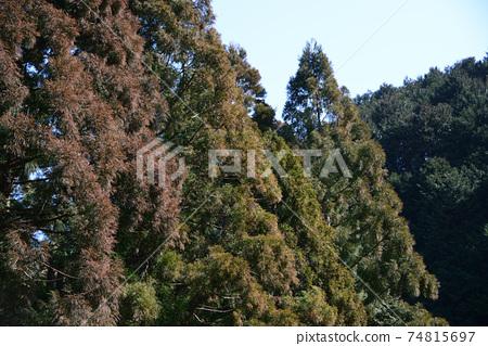 늘어선 삼나무 대목 74815697