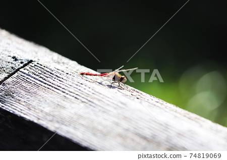 Red dragonfly 74819069