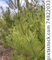 Pine 74822033