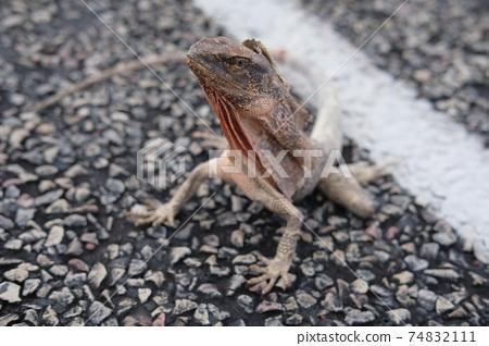 Wild lizard in western Australia 74832111