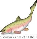 虹鱒魚插畫矢量 74833613