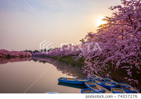 朝陽和櫻花樹 74837276