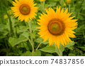 Sunflower flowers blooming in the sunflower field Awa City, Tokushima Prefecture 74837856