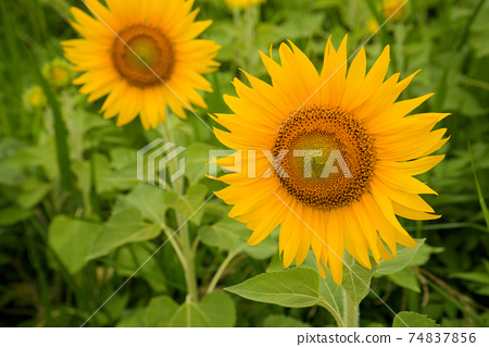해바라기 밭에 피는 해바라기 꽃 도쿠시마 현 아와시 74837856