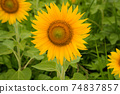 Sunflower flowers blooming in the sunflower field Awa City, Tokushima Prefecture 74837857