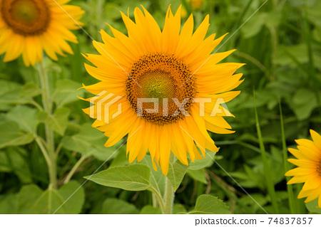 해바라기 밭에 핀 해바라기 꽃 도쿠시마 현 아와시 74837857