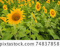 Awa City, Tokushima Prefecture, a lot of sunflower flowers blooming in the sunflower field 74837858