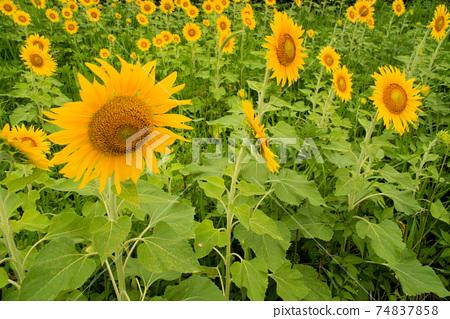 해바라기 밭에 피어있는 가득한 해바라기 꽃 도쿠시마 현 아와시 74837858