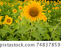 Sunflower flowers in full bloom in the sunflower field, Awa City, Tokushima Prefecture 74837859