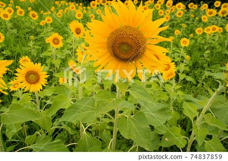 해바라기 밭에 피는 해바라기 꽃 도쿠시마 현 아와시 74837859