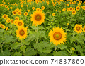 Many sunflower flowers blooming in the sunflower field, Awa City, Tokushima Prefecture 74837860