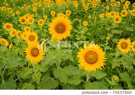 해바라기 밭에 피어있는 많은 해바라기 꽃 도쿠시마 현 아와시 74837860