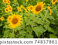 Sunflower flowers in a sunflower field, Awa City, Tokushima Prefecture 74837861