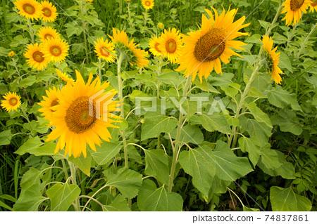 해바라기 밭 해바라기 꽃 도쿠시마 현 아와시 74837861