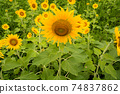 Sunflower flowers blooming in the sunflower field Awa City, Tokushima Prefecture 74837862