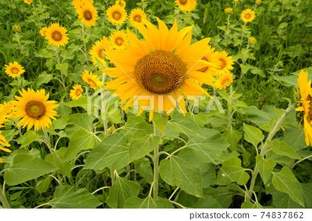 해바라기 밭에 피어있는 해바라기 꽃 도쿠시마 현 아와시 74837862