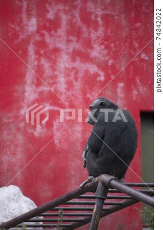 紅牆黑猩猩 74842022