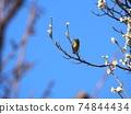 野生鳥類 野鳥 小鳥 74844434